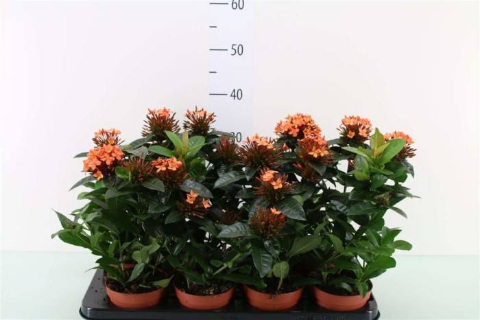 Ixora - plantes-saisonnieres