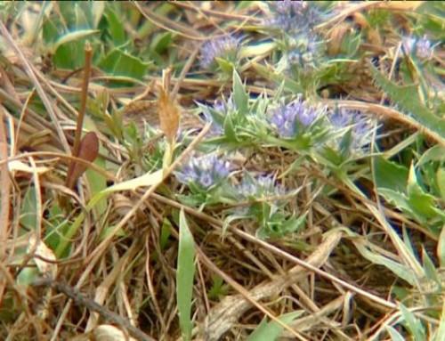 Une petite plante extrêment rare, à Belz, et nulle part ailleurs en France