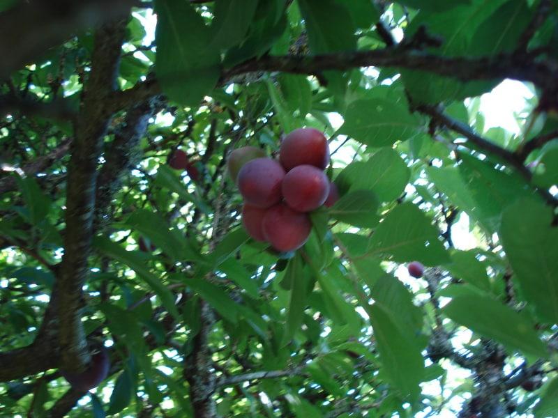 Branche de Prunier Methley
