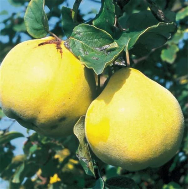 Cognassier Champion fruit