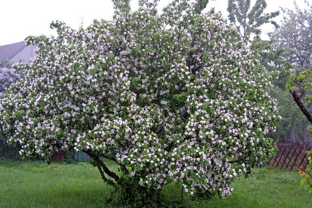 Cognassier Géant de Vranja en Fleur