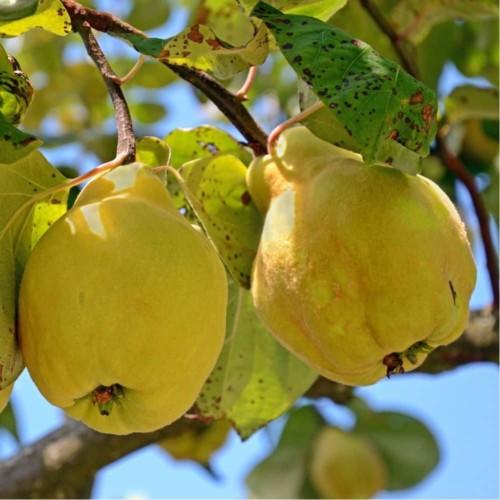 Cognassier Géant de Vranja fruit
