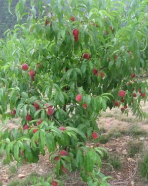 Pêcher Saturne - les-pechers-et-brugnons, arbres-fruitiers