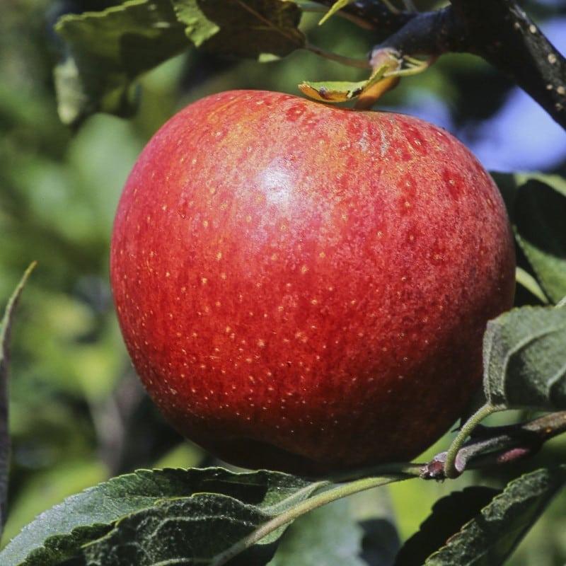 Pomme rouge Pommier Royal Gala