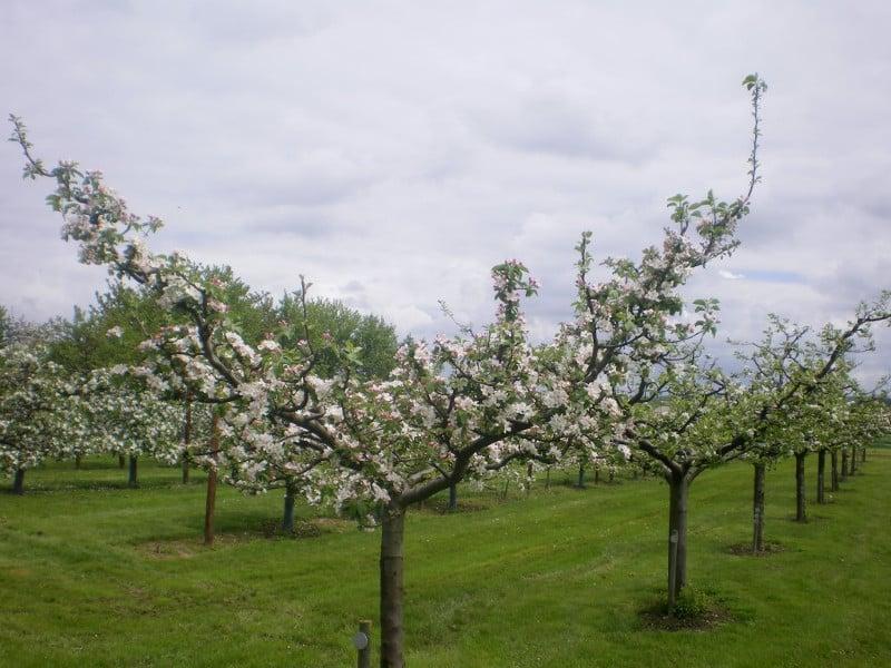 Pommier Calville Rouge d'hiver en floraison fleur blanche