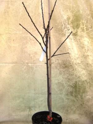 Pommier Calville Rouge d'hiver - pommier, arbres-fruitiers