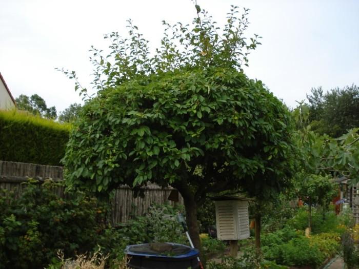 Prunier Methley - les-pruniers, arbres-fruitiers