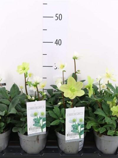 Hellébore Niger - Rose de Noël - plantes-vivaces-hiver