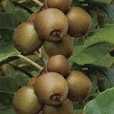 Plant de kiwi femelle