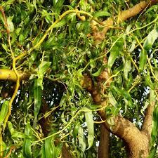 Saule Tortueux - arbres-ornement
