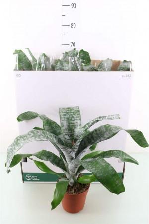 Aechméa fasciata primera - plantes-saisonnieres