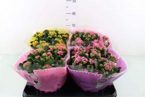 Kalanchoë coupe - plantes-interieur