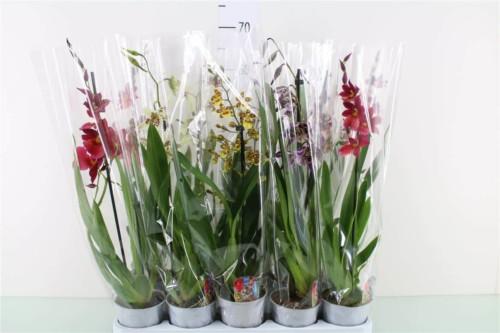 Cambria - plantes-saisonnieres