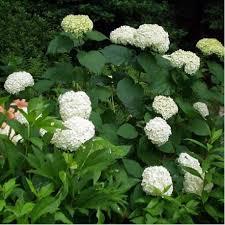 Hortensia arborescens Annabelle - hortensias