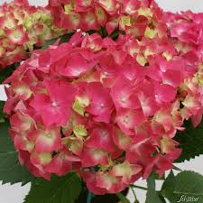 Hortensia macrophylla Leuchtfeuer - hortensias-a-grosses-fleurs