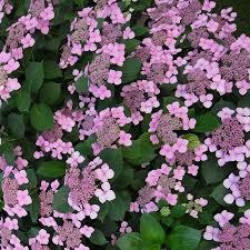 Hortensia macrophylla Mousmée - hortensias-a-fleurs-plates
