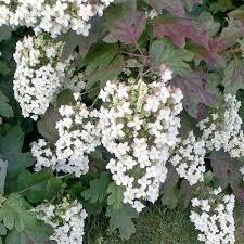 Hortensia quercifolia - hortensias-panicules