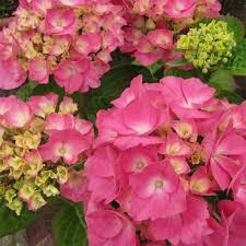 hortensia rosita