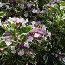 Hortensia macrophylla Tricolor - hortensias-a-fleurs-plates