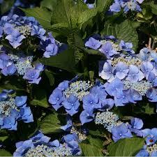 Hortensia macrophylla Blaumeise - hortensias-a-fleurs-plates