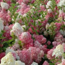 Hortensia paniculé vanille-fraise ® - hortensias-panicules