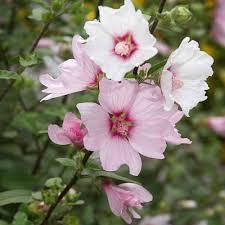 Lavatère Barnsley - arbustes-fleurs