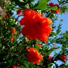 Grenadier à fleurs doubles - arbustes-fleurs