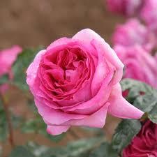 Rosier Bernadette Lafont ® - rosiers-buissons