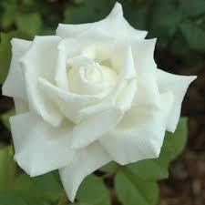 Rosier Pape Jean-Paul II ® - rosiers-buissons