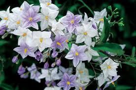 Solanum jasminoïde bleu - plantes-vivaces, plantes-grimpantes