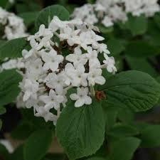 Viorne du Japon - arbustes-fleurs