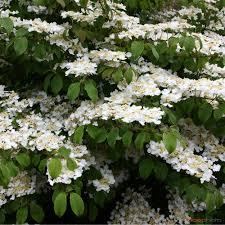 Viorne de Chine - arbustes-fleurs