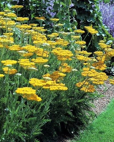 Achillée Coronation Gold - plantes-vivaces