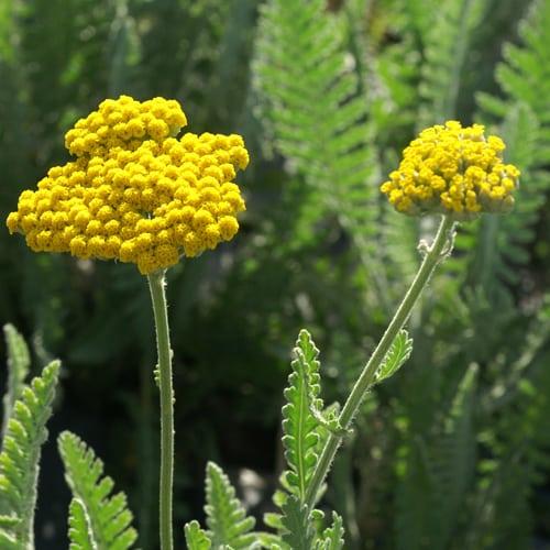 Fleur Achillée Coronation Gold