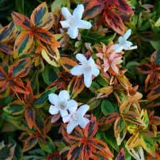 Abélia Kaleidoscope ® - arbustes-fleurs