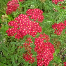 Achillée millefolium Cerise Queen - plantes-vivaces
