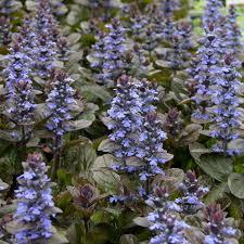 Bugle - Ajuga reptans Atropurpurea - plantes-couvre-sols