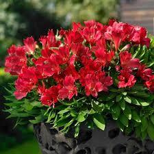 Lis des incas - Alstroemeria Valentino - plantes-vivaces-ete
