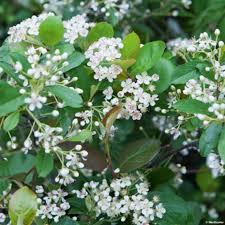 Aronia arbutifolia brillant - arbustes-fleurs