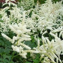 Astilbe japonica Deutschland - plantes-vivaces