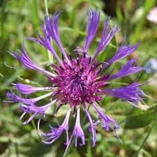 Bleuet des montagnes - Centaurea - plantes-vivaces