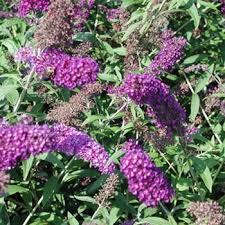 Arbre à papillons - Buddleia Nanho Purple - arbustes-a-fleurs-dete
