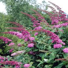 Arbre à papillons - Buddleia Pink Delight