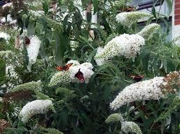 Arbre à papillons - Buddleia White profusion