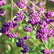 Arbuste aux bonbons - Callicarpa profusion - arbustes-fleurs