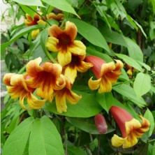 Bignone à feuillage persistant - campsis capreolata - plantes-grimpantes
