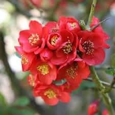 Cognassier du Japon - destockage-saisonnier, arbustes-fleurs