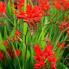 Montbrétia - crocosmia Lucifer - plantes-vivaces-ete