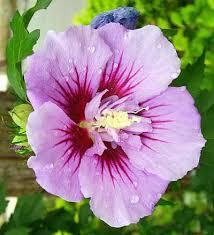 Hibiscus Syriacus Ardens - arbustes-fleurs