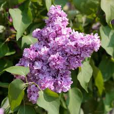 Lilas Belle de Nancy - arbustes-a-fleurs-de-printemps